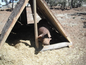 Portable pig housing for raising pigs on pasture