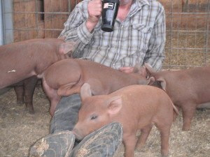 Red Wattle Piglets